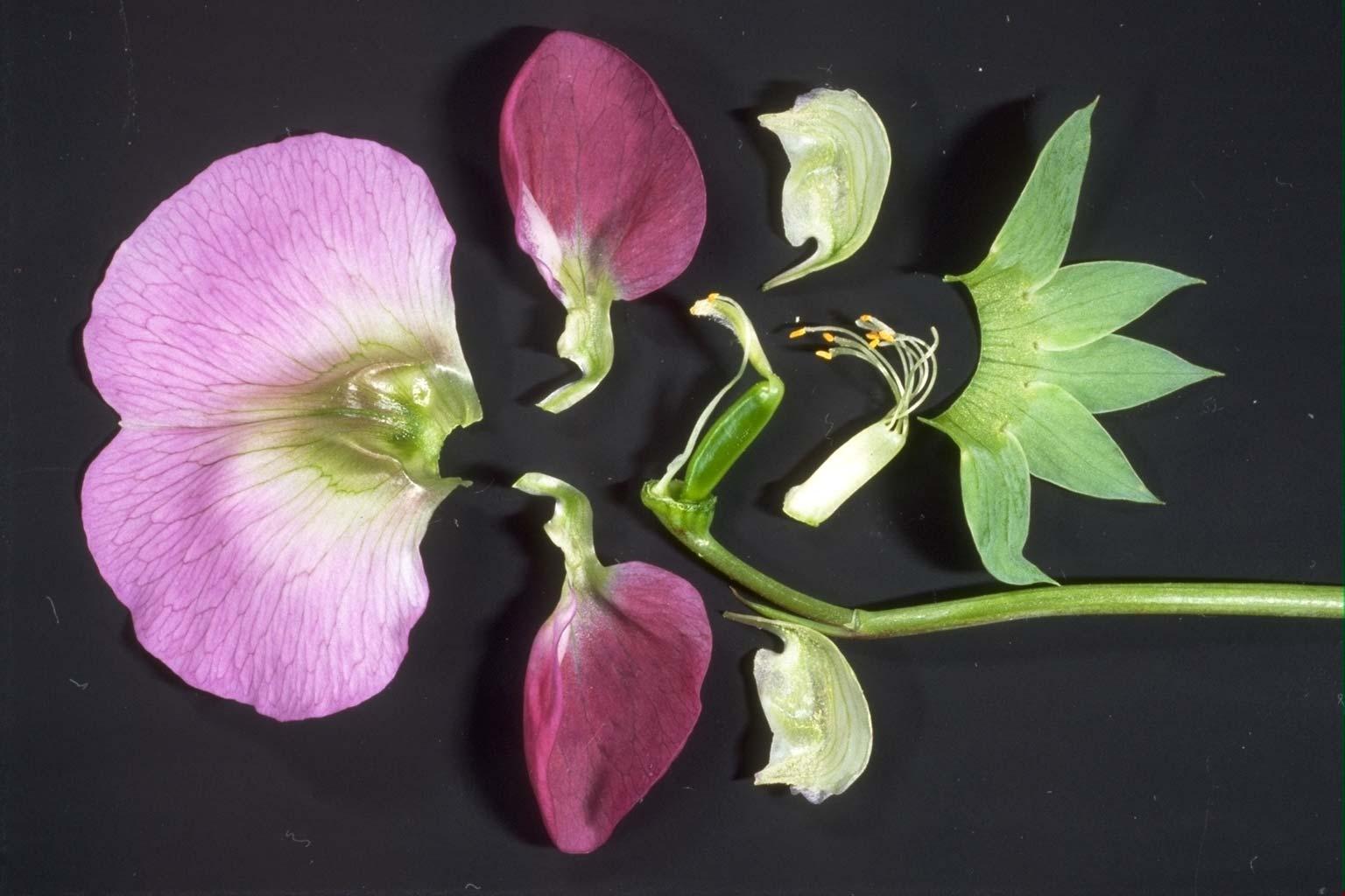 ツツジの花弁